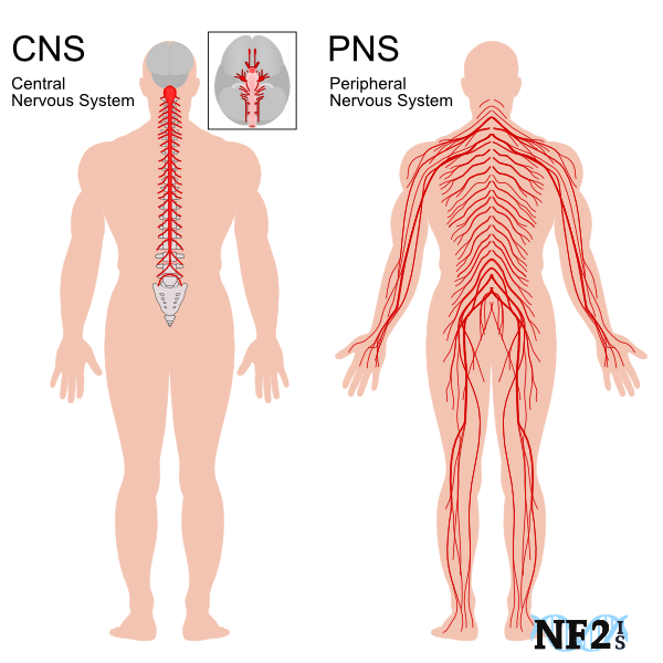 CNS, Central Nervous System, PNS, Peripheral Nerve System, Peripheral Nerves