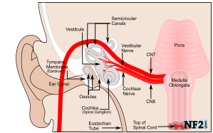 Hearing, pons, Medulla Oblongata, CN7, CN8, Facial Nerve, Vestibulocochlear Nerve,  					Vestibular Nerve, Cochlear Nerve, Eustachian Tube, Ossicles, ear canal, eardrum, Tympanic Membrane, Semicircular Canals, Cochlea,  					Spiral Ganglion