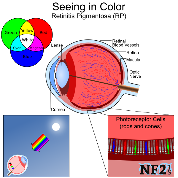 Eye, Color, Central Vision, rods, cones, Photoreceptor Cells, Retinitis Pigmentosa, RP